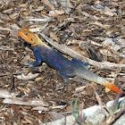 West African Rainbow Lizard