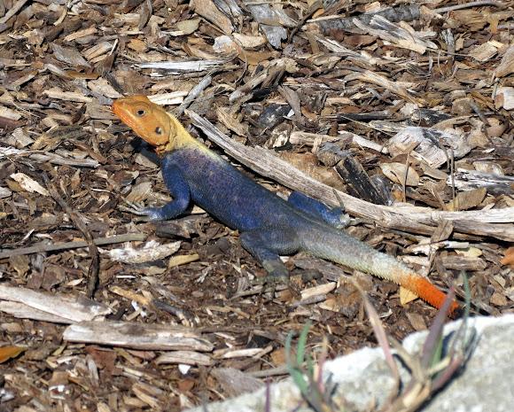 west african rainbow lizard project noah