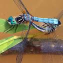 Blue Dasher dragonflies (mating pair)
