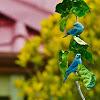 Blue-grey Tanager