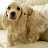 Puppy Pets Wallpapers