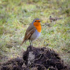 A Robin by Charlotte Kay - Animals Birds