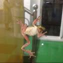 Japanese Treefrog