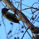 Wavy-bellied Woodpecker