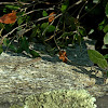 Erhard's wall lizard , Σιλιβούτι
