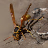 Western paper wasps