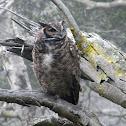 Magellanic horned owl