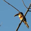 Araçari castanho or Chestnut-eared Aracari