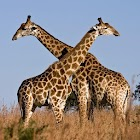 Giraffes Live Wallpaper icon