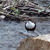 Wasseramsel / White-throated Dipper / European Dipper