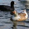 (Female) Hybrid Duck