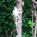 Green anole eating shed