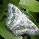 Bizarre Looper Moth (Male)