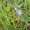 Dwarf Butterflies