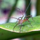 common yellow Lynx Spider