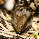 African Marsh Rat