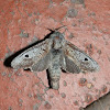 Cossid Moth 7 - male