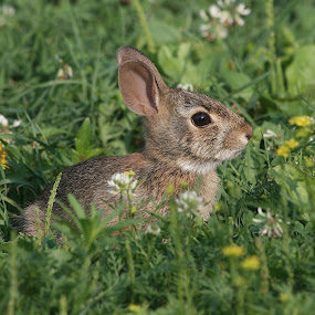 Baby Rabbit by Ken Keener - Animals Other ( babies, bunny, cottontail, baby, abbit,  )