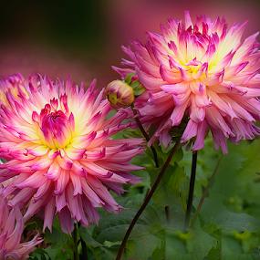 Dahlia by Carl Sieswono Purwanto - Flowers Flower Gardens