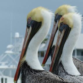 Pellicans in Hawks Cay - Florida Keys by Francesco Altamura - Animals Birds ( animals, florida, seaside, pellicans, birds,  )