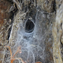Crevice Weaver Spider Web