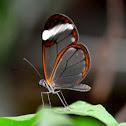 Glasswing butterfly (dt. Glassflügelfalter)