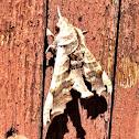 Lettered Sphinx Moth