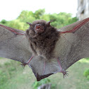 Vespertilionid bat
