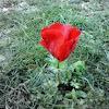 Anemone of Jordan