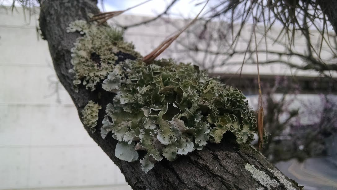 Ruffle Lichen