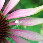 Flower Spider (Crab)