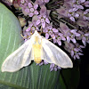 Banded Tussock Moth OR Sycamore Tussock Moth