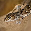 Turners Gecko