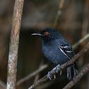 Black-tailed Antbird
