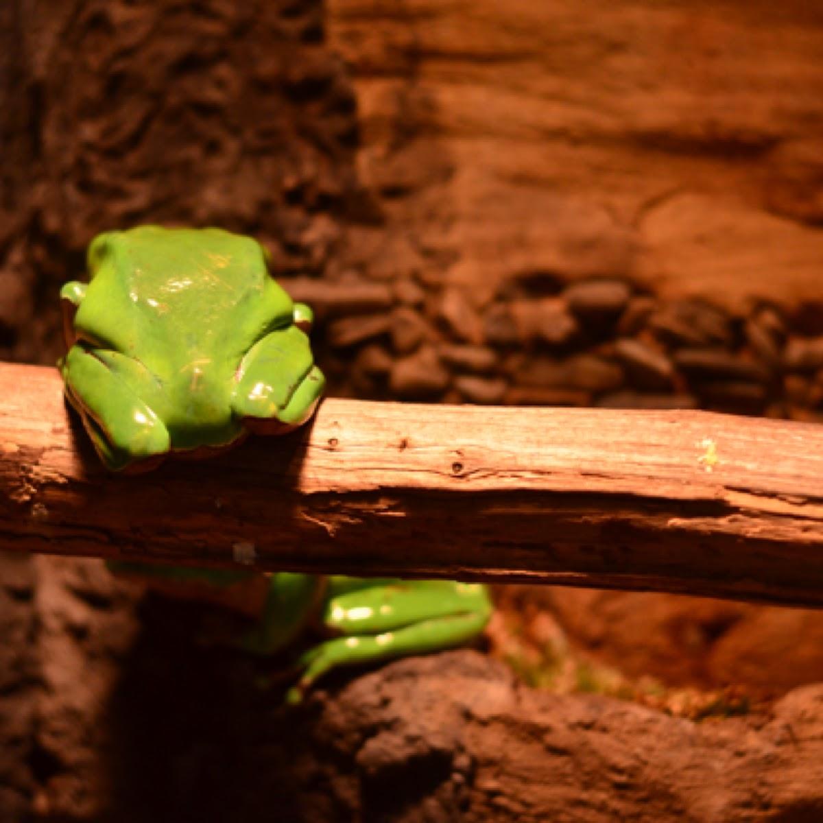 Waxy Monkey Leaf frog
