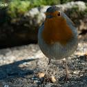 Petirrojo, Robin