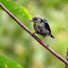 Red-legged Honeycreeper  (male) (eclipse plumage)