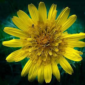 yellow flower by Zeljko Jelavic - Novices Only Flowers & Plants ( flower,  )