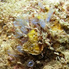 Tunicates or sea squirts