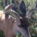 California Mule Deer (buck)
