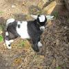 Nigerian Dwarf (goat)