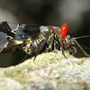 Psocoptera