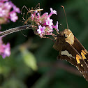 Silver-spotted skipper butterfly & Assassin bugs