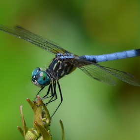Blue Eyes by Alan Hammond - Animals Insects & Spiders ( animals, nature, dragonfly, insects )