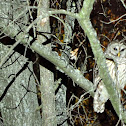 Barred Owl or Hoot Owl