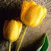 Tulip . Yellow