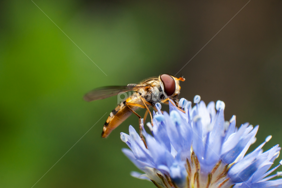 hoverfly on blue flower by Mick Agterberg - Animals Insects & Spiders ( hoverfly, zweefvlieg, macro, nature, blue, natuur, insect, bloem, blauw, flower,  )
