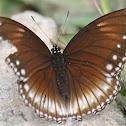Malayan Eggfly / Crow Eggfly