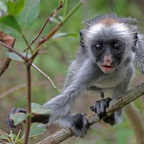 Baby Red Colobus Monkey by Tony Murtagh - Animals Other Mammals ( zanzibar, ape, wildlife, colobus monkey, monkey, animal, baby, young,  )