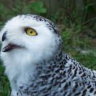 Snowy Owl (Female)